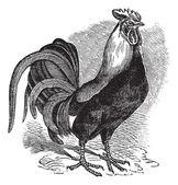 Rooster or Cockerel or Cock or Gallus gallus vintage engraving — Stock Vector