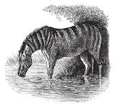 Burro o equus asinus vintage grabado — Vector de stock