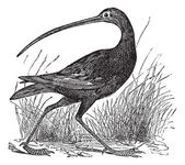 Slender-billed Curlew or Numenius tenuirostris vintage engraving — Stock Vector
