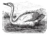 Mute Swan or Cygnus olor, vintage engraving — Stock Vector