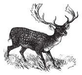 Fallow Deer or Dama dama, vintage engraving — Stock Vector