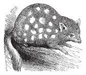 Eastern Quoll or Eastern Native Cat or Dasyurus viverrinus, vint — Stock Vector