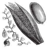 финиковая пальма или пальчатый phoenix, старинные гравюры — Cтоковый вектор