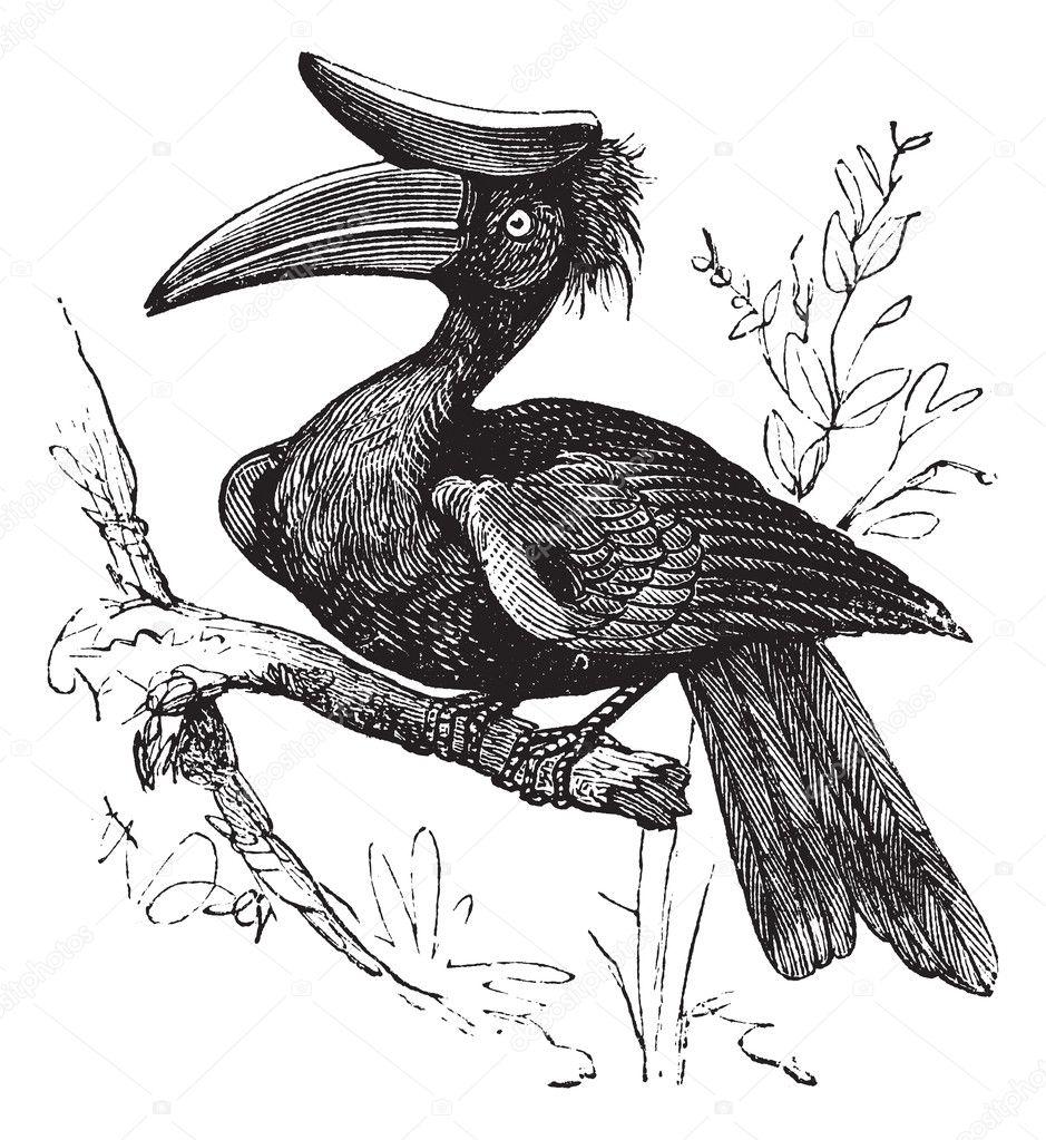 Indian Hornbill Drawing Rhinoceros Hornbill or Buceros