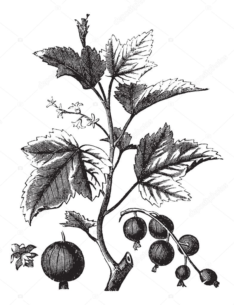 Ribes berry or blackcurrant or vintage engraving, Old engraved illustration of Ripes berry. — Stock Vector #6721217