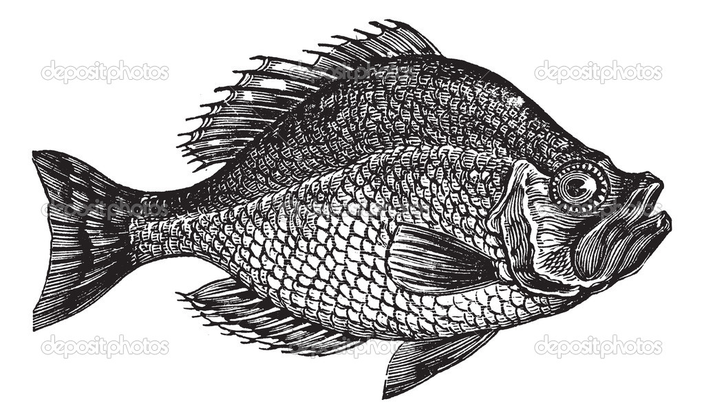 Centrarchus aeneus or rock bass fish vintage engraving. Old engraved illustration of Centrarchus aeneus.   Stock Vector #6721883