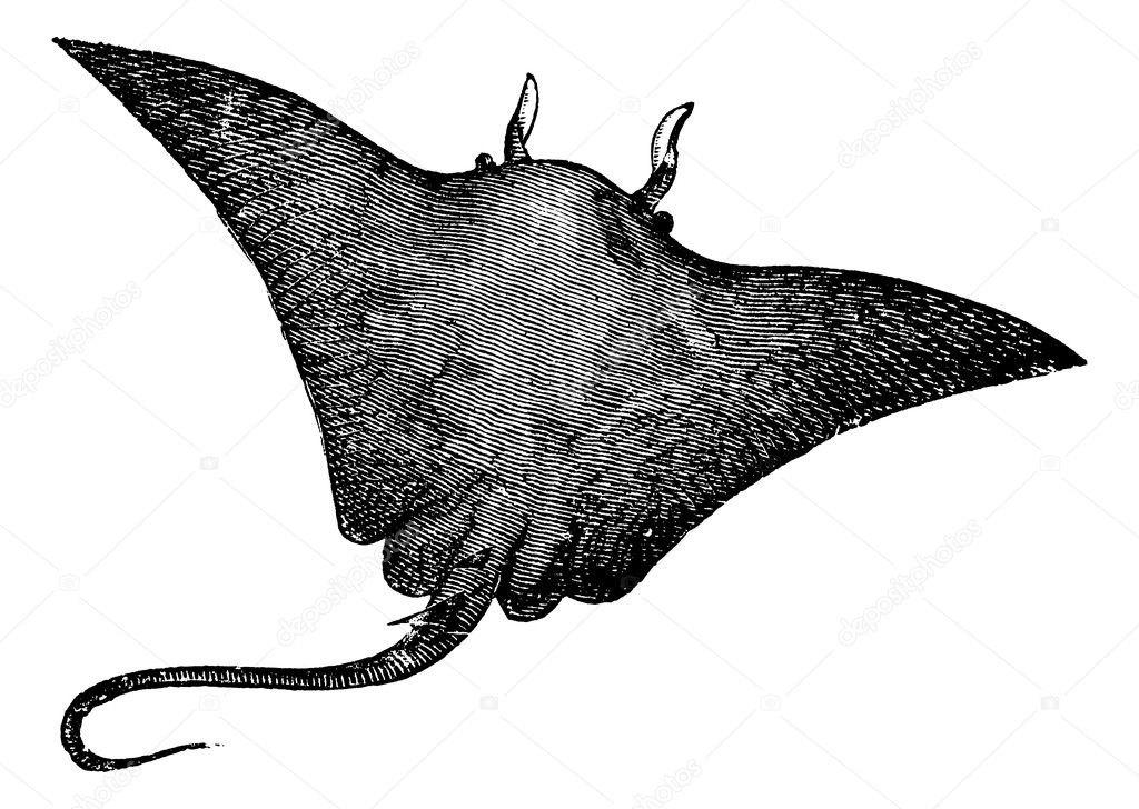 Manta ray, devilfish, Manta birostris or Cephalopterus vampyrus ray. Old engraved illustration of Manta ray isolated against a white background. — Stock Vector #6721902