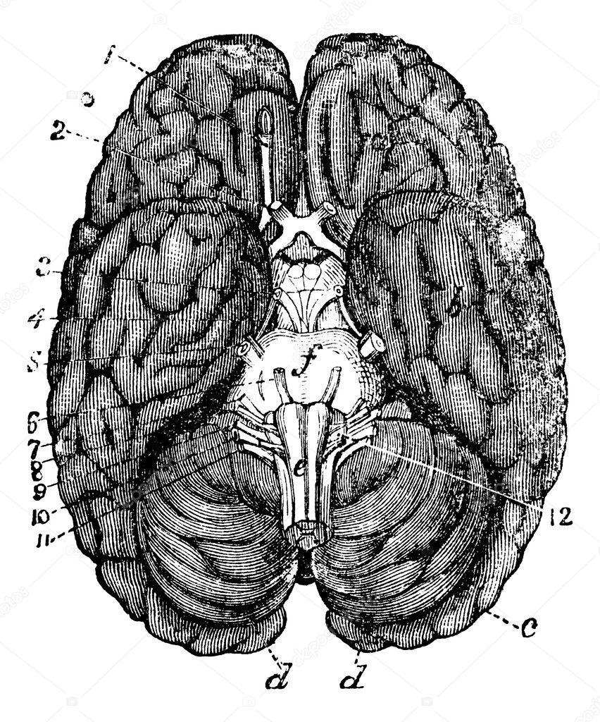 Human brain vintage en...