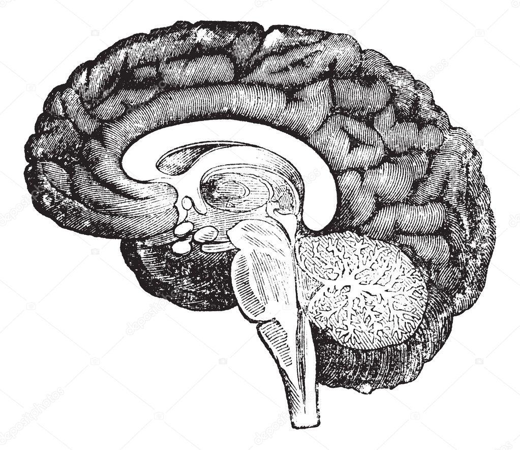 brain vintage engravin...