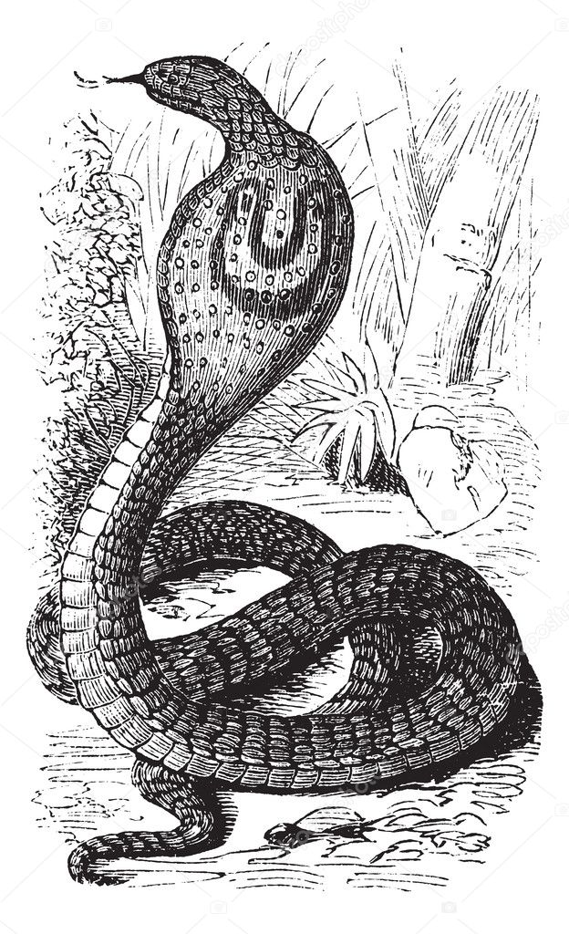 Indian Cobra or Spectacled Cobra or Naja naja, vintage engraving. Old engraved illustration of an Indian Cobra. — Stock Vector #6725885