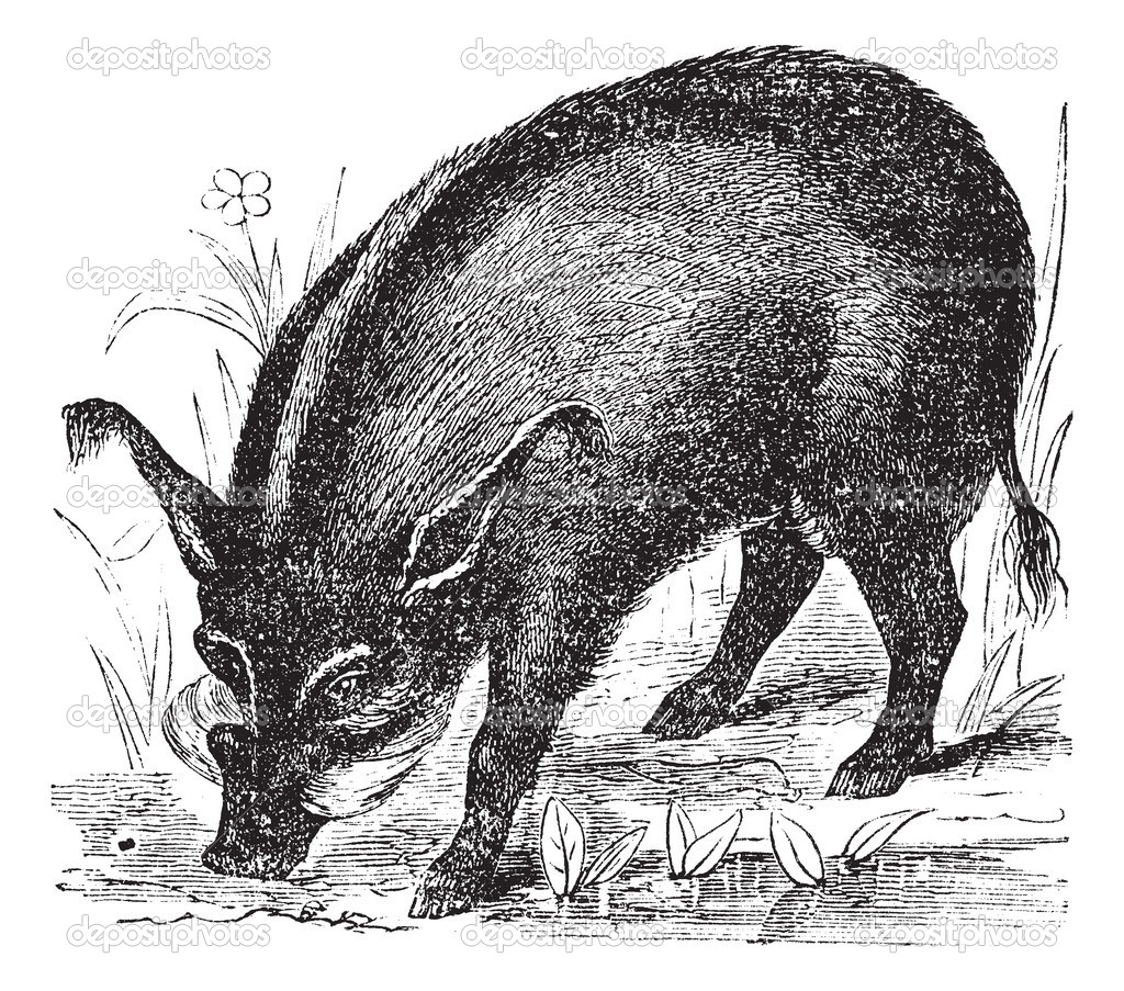 Warthog or Wart-hog or African Lens-Pig or Phacochoerus africanus, vintage engraving. Old engraved illustration of a Warthog. — Stock Vector #6725964