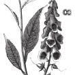 Purple Foxglove or Common Foxglove or Lady's Glove or Digitalis — Stock Vector
