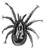 Red Mite or Dermanyssus gallinae, vintage engraving — Stock Vector