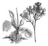 Venus Flytrap or Dionaea muscipula, vintage engraving — Stock Vector