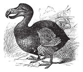 Dodo o raphus cucullatus, vintage grabado — Vector de stock