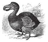 Dodo of raphus cucullatus, vintage gravure — Stockvector