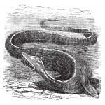 Elasmosaurus or Elasmosaurus platyurus, vintage engraving — Stock Vector #6745313