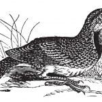 Eastern Meadowlark or Sturnella magna, vintage engraving — Stock Vector #6745961
