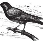 Common Starling or European Starling or Sturnus vulgaris, vintag — Stock Vector #6745969