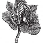 Mottlecah or Eucalyptus macocarpa, vintage engraving — Stock Vector #6745997