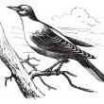 Orphean Warbler or Sylvia hortensis, vintage engraving — Stock Vector #6746103