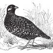 Black Francolin or  Francolinus francolinus, gamebird, vintage e - Stock Vector