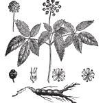 American Ginseng or Panax quinquefolius vintage engraving — Stock Vector
