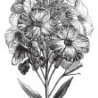 Aegean wallflower or Erysimum cheiri vintage engraving — Stockvektor