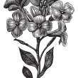 Gillyflower or Matthiola incana vintage engraving - Stockvectorbeeld