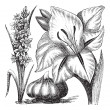Gladiolus or sword lily vintage engraving - Stockvectorbeeld