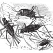 1.Wood cricket (Acheta vittata) 2.Field cricket (Acheta campestr — ベクター素材ストック