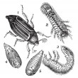 Stockvektor : 1.Regular Chafer (Melolonthvulgaris) 2.Larvrear view 3.Larv