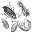 Stock vektor: 1.Regular Chafer (Melolonthvulgaris) 2.Larvrear view 3.Larv