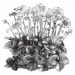 Beautiful Hepatica Triloba vintage engraving — Imagen vectorial