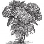 Постер, плакат: Bigleaf Hydrangea or Hydrangea macrophylla vintage engraving