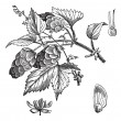 Vettoriale Stock : Common hop or Humulus lupulus vintage engraving