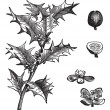 Holly or Ilex aquifolium vintage engraving - 图库矢量图片