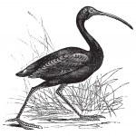 Scarlet Ibis or Eudocimus ruber vintage engraving — Stock Vector #6747871