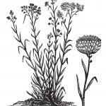 Helichrysum orientale vintage engraving — Stock Vector