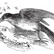 Greater Honeyguide or Indicator indicator vintage engraving — ストックベクタ #6748000
