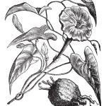 Exogonium purga or Ipomoea jalapa vintage engraving — Stock Vector