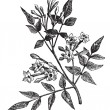 Common Jasmine or Jasminum officinale vintage engraving - Stock Vector
