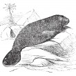 Florida manatee (manatus latirostris) vintage engraving — Vector de stock