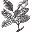 Cherry laurel (Prunus laurocerasus) or Cherry laurel vintage eng — Imagen vectorial