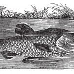 Leuciscus cephalus or European chub, vintage engraving — Stock Vector #6749492