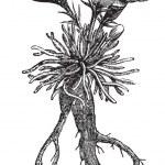 Lewisia rediviva or bitterroot, vintage engraving — Stock Vector