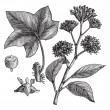 English ivy (Hedera helix) or Common ivy vintage engraving - ベクター素材ストック