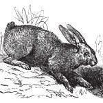 Постер, плакат: Northern hare Lepus americanus or Snowshoe Hare vintage engrav