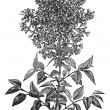 Постер, плакат: Syringa vulgaris lilac or common lilac vintage engraving