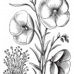 Linum grandiflorum or Red flax vintage engraving — Stock Vector #6749809